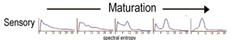 Sensory maturation from EEG spectral plots neurofeedback